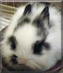Bola the Lionhead Rabbit