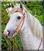 Gunnar the Irish mix Horse
