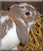 Schnuffi the Lop Rabbit