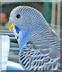 Billy the Budgerigar