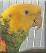 Eddie the Amazon Parrot