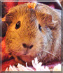 Eeyore the Guinea Pig