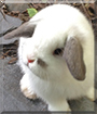 Double Stuff the Holland Lop Rabbit