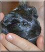 Flinki the Guinea Pig