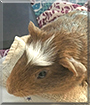 Coffee Bean the Guinea Pig