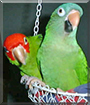 Barney and Krissy the Conures