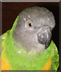 Kyra the Senegal Parrot