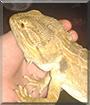 Seymour the Bearded Dragon