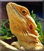 Apalla the Bearded Dragon