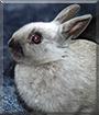 Nikita the Netherland Dwarf Rabbit