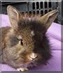 Cilie the Lionhead Dwarf mix Rabbit