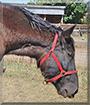 Jack the Percheron Horse