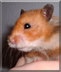 Egon the Teddy Bear Hamster