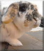 Sweetie the Dwarf Lop Rabbit