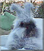 Duster the English Angora Rabbit
