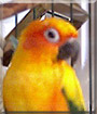 Caspeon the Sun Conure