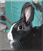 Domino the Dutch Rabbit mix