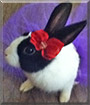 Oreo the Dutch Bunny Rabbit