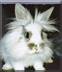 Leo the Lionhead Rabbit