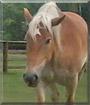Jen the Belgian Draft Horse