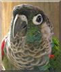 Rugby the Green-cheeked Conure