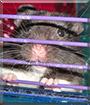 Isaac the Panda Bear Hamster