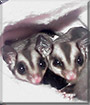Bailey and Kahlua the Sugar Gliders