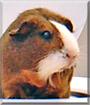 Fandango the Guinea Pig