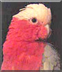 Izzy the Galah Cockatoo