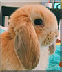 Finn the American Lop Rabbit