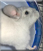 Chi Chi the Chinchilla