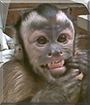 King Kong the Capuchin Monkey