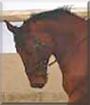 Benvenuto the Hanoverian Horse