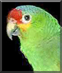 Sassy the Red Lored Amazon Parrot