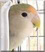 Cookie the Lovebird