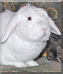 Casper the Mini Lop Rabbit