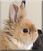 Binky the Lionhead Rabbit