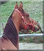 BoTahn the Polish Arabian Horse