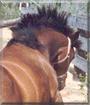 Koko the Morgan Horse