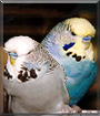 Onslow and Biggles the English Budgies
