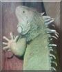 Spencer the Green Iguana