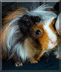 Mikesch the Guinea Pig