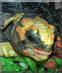 Sherman the Redfoot Tortoise