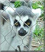 Gavin the Ring-Tailed Lemur