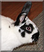 Sir Bun Bun the Holland Lop Rabbit