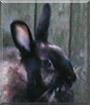 Midnight the Dwarf Rabbit