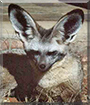 Bonnie the Bat-eared Fox