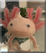 Maxolotl the Axolotl