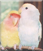 Cottonball & Koo Kee the Peachface Lovebirds