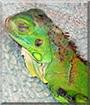 Jiggles the Green Iguana